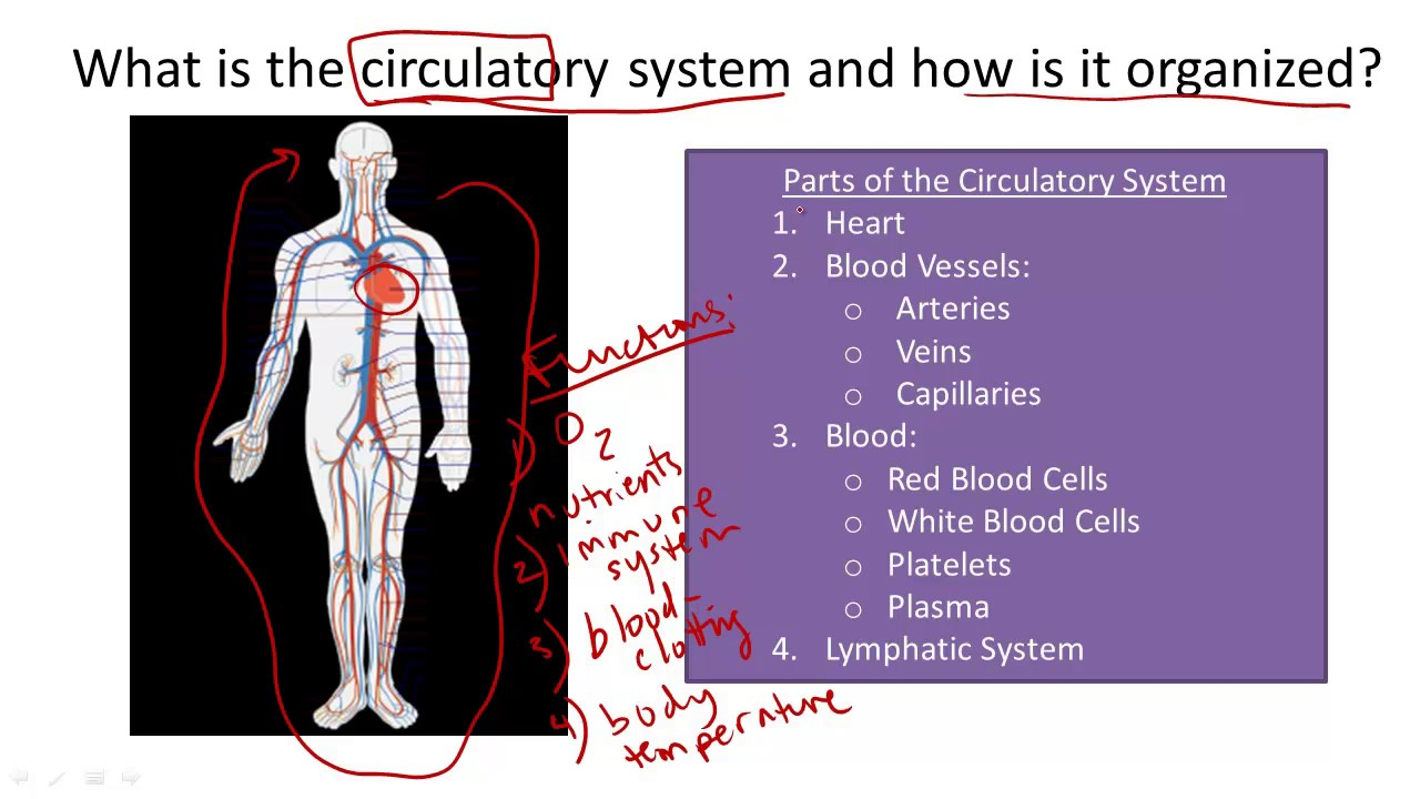 Circulatory System Structure And Function Youtube