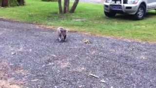 ニューキャッスルの近くのキャラバンパークで偶然に野生のコアラに遭遇...