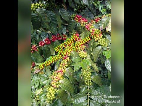 การปลูกกาแฟอาราบิก้า สายพันธุ์ใหม่พันธุ์ลูกผสม 2018