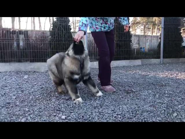 Caucasian Shepherd Dog  Female #6 for sale (4 months) video3