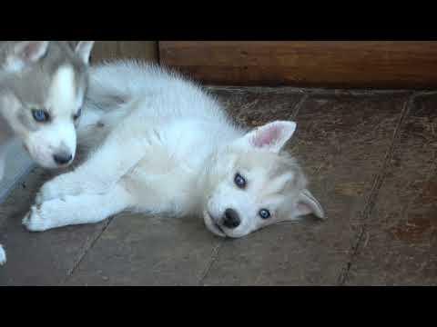 2021-07-12 Husky puppies