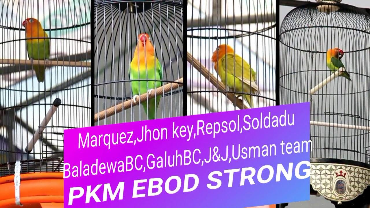 Media Hobi Latpres Pkm Ebod Strong Pamanukan Kicau Mania Youtube