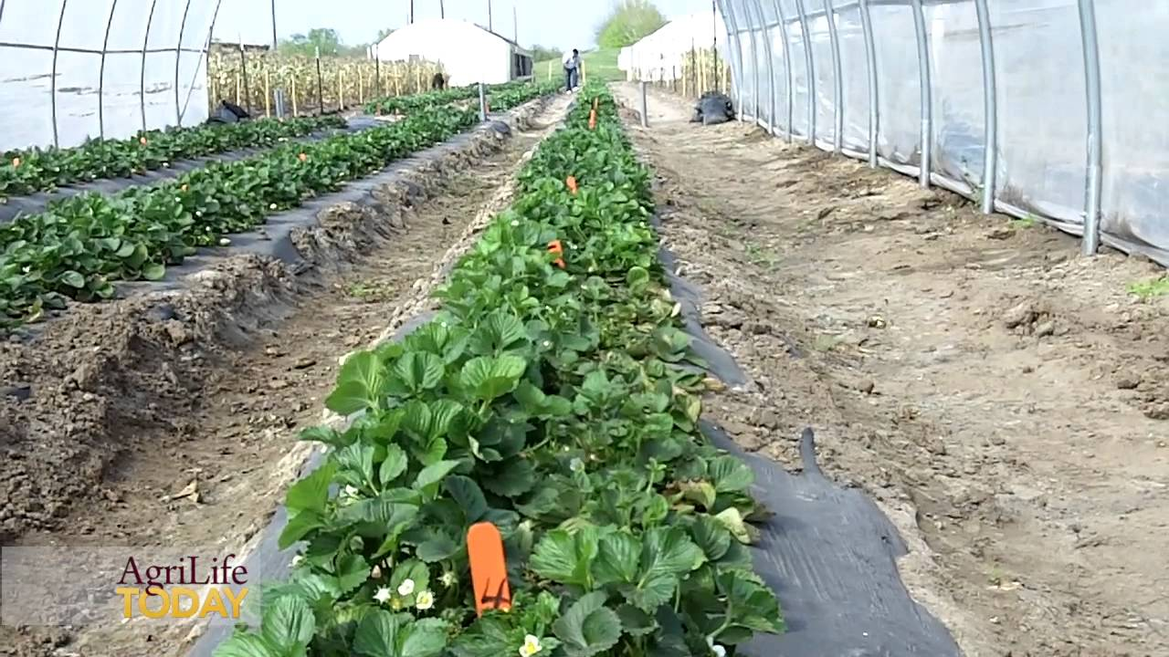 Strawberries In South Texas