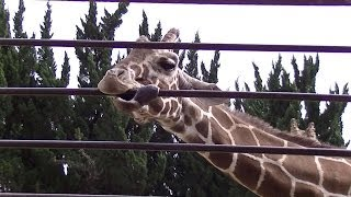 Giraffe is lick the iron:Animal Video