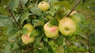 Сады Севера. Многосортовые яблони и груши 2016г