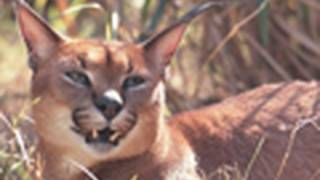CARACAL Species Spotlight - Big Cat TV