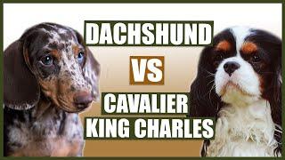DACHSHUND vs CAVALIER KING CHARLES SPANIEL