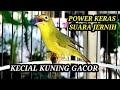 Kecial Kuning Gacor Suara Istimewa Power Keras Jernih Speed Gesit  Mp3 - Mp4 Download
