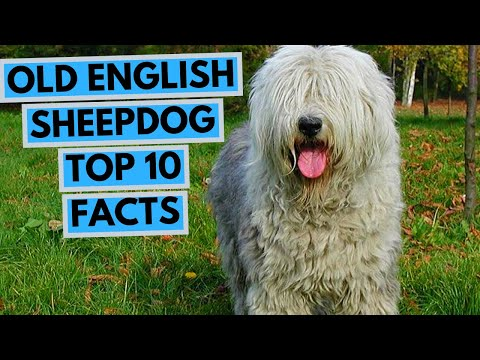 old-english-sheepdog---top-10-interesting-facts