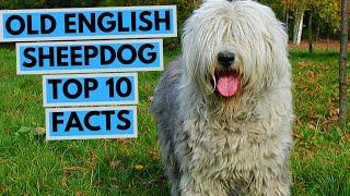 Old English Sheepdog  TOP 10 Interesting Facts