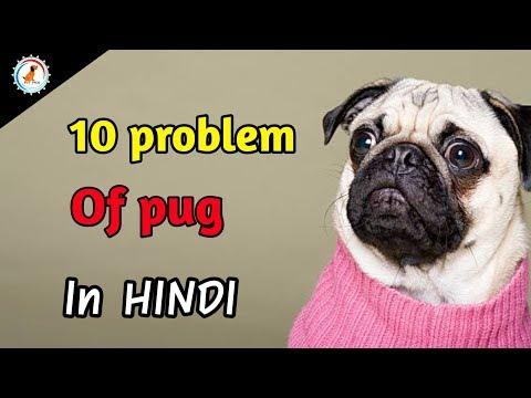 10 problems of pug / in hindi / Pug Dog Problem