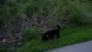 Nina Cocker Spaniel Dog Inline Skating