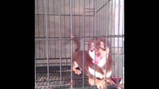 Quality Pomeranian & Chihuahua Choco Stud