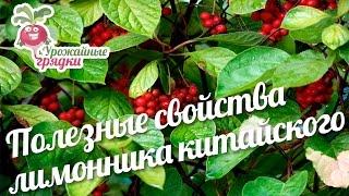 Лимонник китайский: свойства и особености выращивания лианы #urozhainye_gryadki