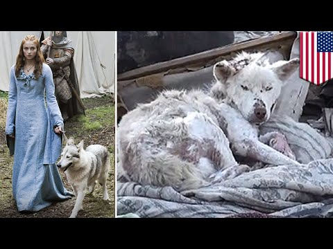 Game of Thrones: More huskies are being abandoned because of Game of Thrones fans - TomoNews