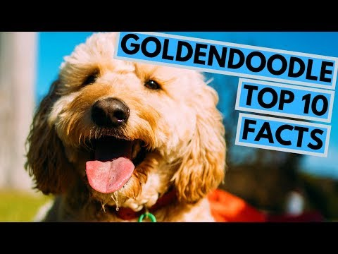 Goldendoodle - TOP 10 Interesting Facts