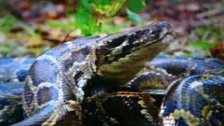 ビルマニシキヘビが可愛いアライグマや鹿を襲い丸飲みする捕食映像です...
