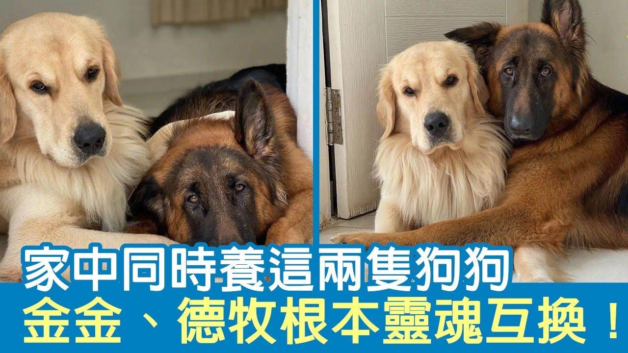 家中同時養這兩隻狗狗 金金、德牧根本靈魂互換! | 狗狗搞笑