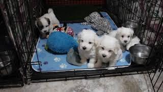 Coton de Tulear Puppies For Sale - Ireland 5/26/21