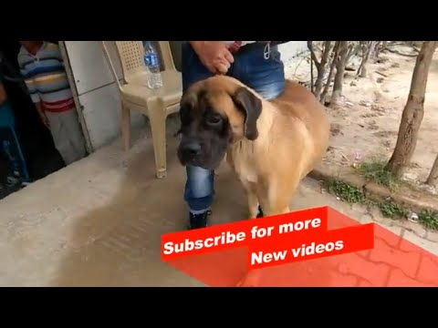 Wow ! Most Amazing dog breeds worldwide | Bullmastiff |