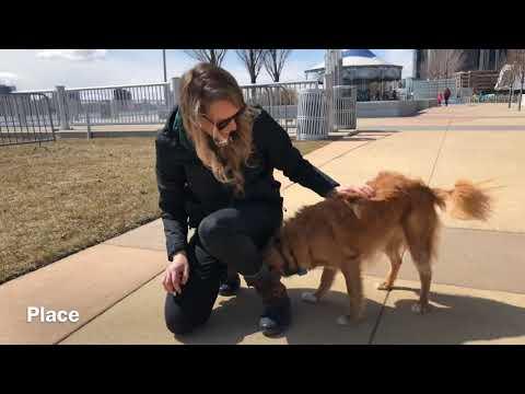 """Ginger"" Nova Scotia Duck Tolling Retriever l Detroit Dog Training"