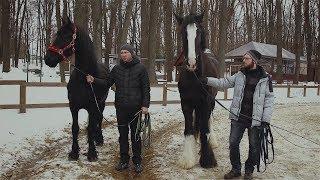 Кобыла фризской породы и конь породы шайр в Фельдман Экопарк