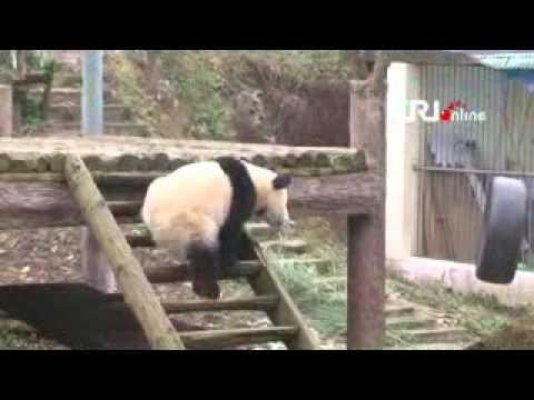 Panda Fuwa dan Fengyi