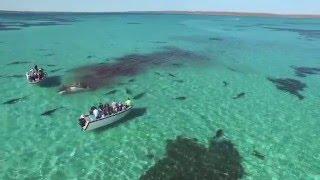 В Австралии 70 акул растерзали кита
