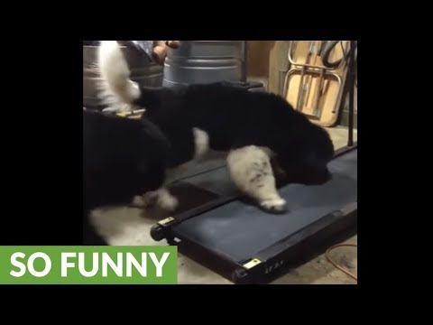 Newfoundland puppies learn how to use doggy treadmill