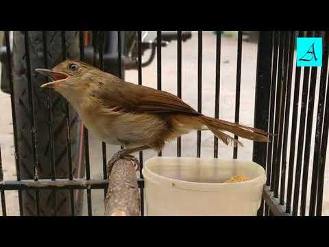 Dijamin Langsung Buka Paruh dengan suara merdu Burung Flamboyan ini