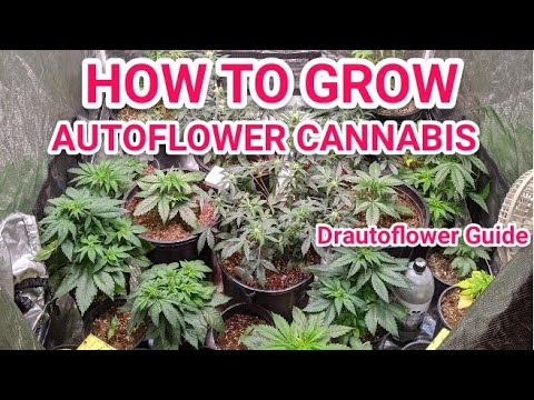 VIGOROUS GROWTH IN AUTOFLOWERS - WEEK 3 TO 4 GUIDE AND INFORMATION