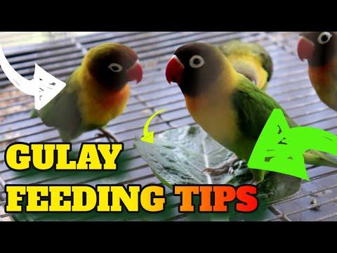 GULAY FEEDING TIPS! Best Vegetables For Lovebirds - How To Feed Your Pet Love Birds Vegetable