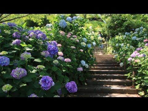 How To Grow Hydrangeas | Mitre 10 Easy As Garden