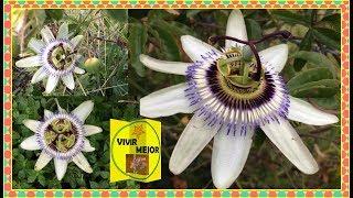 Para que sirve la PASIFLORA, Sublime passionflower par excellence, Propiedades, #10