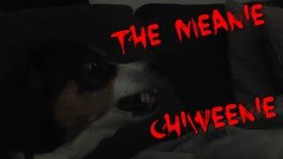 The Meanie Chiweenie Dog  -(chihuahua/dachshund Mix)