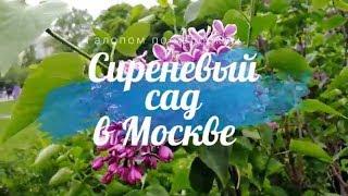Смотреть видео Сиреневый сад в Москве  Цветение сирени 2018 mp4 онлайн