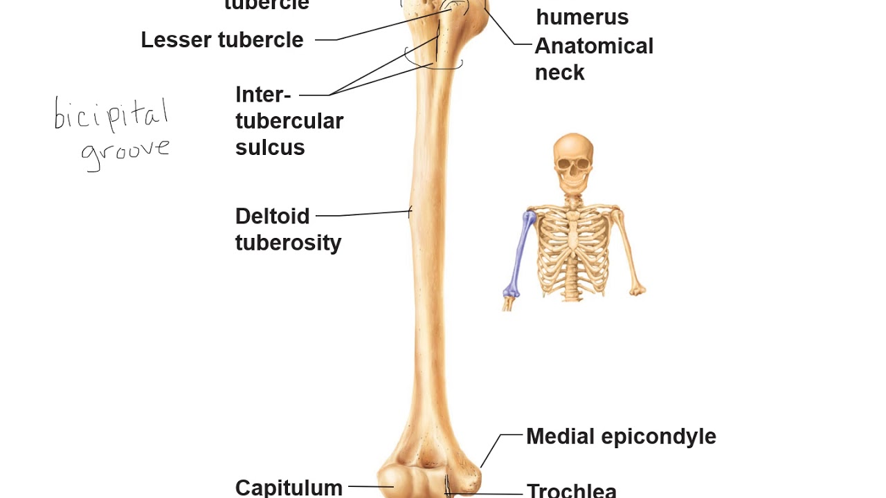 hight resolution of humerus radius and ulna