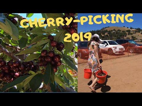 CHERRY PICKING  2019 | Cherries U-PICK | U-PICK CHERRIES