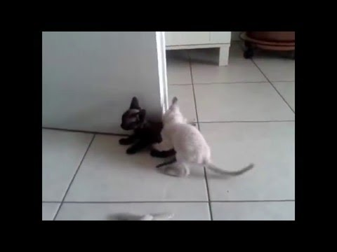 Two months Devon Rex kittens fight! Allevamento cuccioli | Gatto Devon Rex | Milano