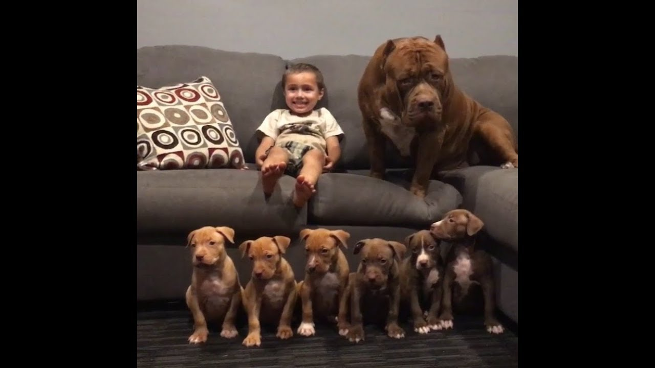 Raising World Famous Pit Bulls Hulk Puppies Giant Incubator Youtube