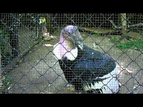 Perplexed Andean Condor