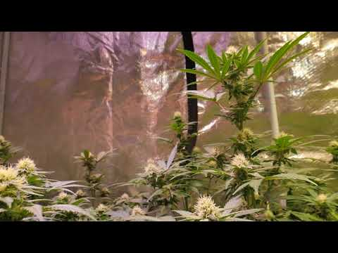 FAST CYCLE CANNABIS DEFOLIATION RECOVERY AND PAR TEST WITH NEWLY ADDED OPTIC 1XL