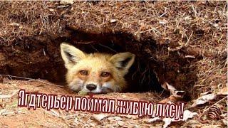 Ягдтерьер вытянул живую лису охота без ружья Jagdterrier pulled alive Fox Norn hunting without a gun