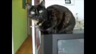 Смешные кошки черепаховые такие милые, спокойные с бойким кроликом!!