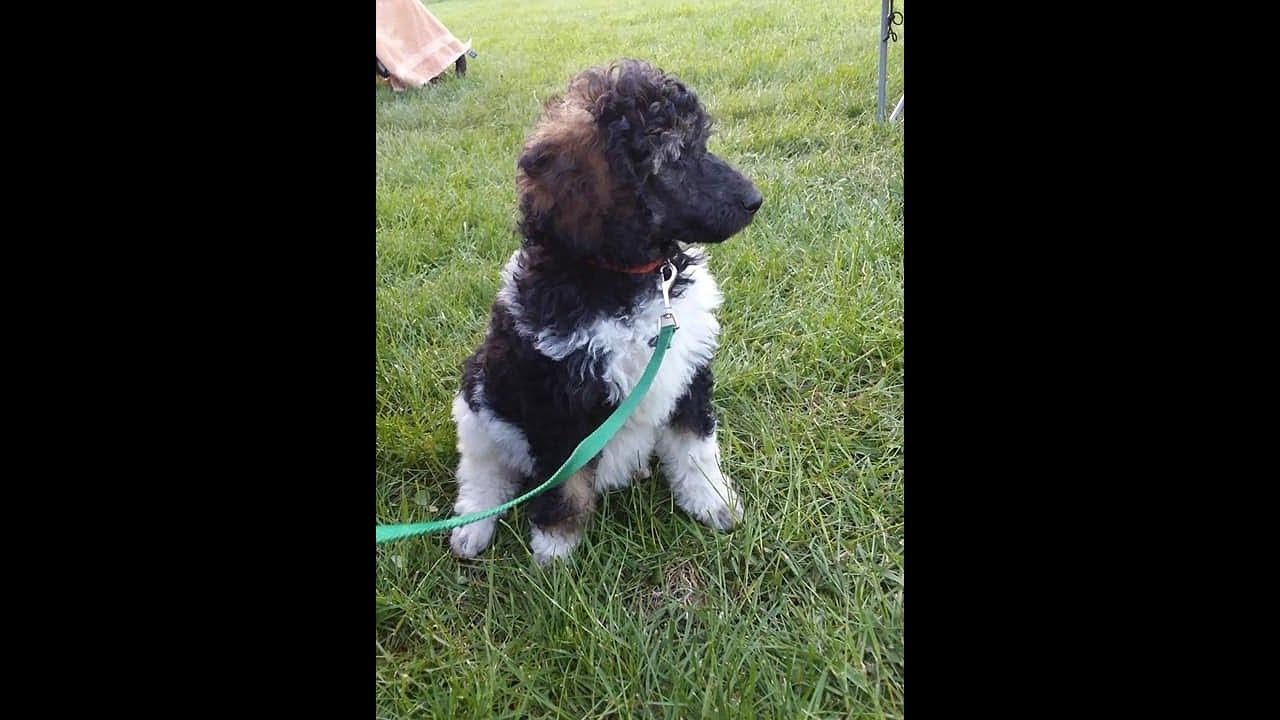 Bordoodle Border Collie Moyen Poodle Mix Puppies For Sale