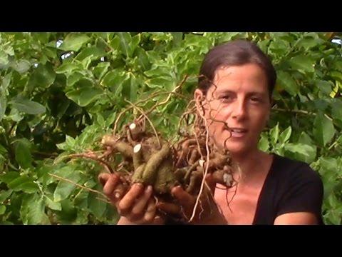 Ashwagandha - Sexual Healing herb Kauai Farmacy