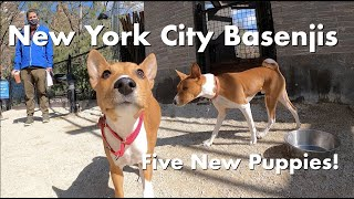 Five New  Puppies!  New York City Basenji Meetup  18 April 2021