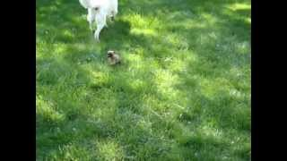 Pug/Boston Terrier puppy playing Thumbnail