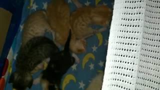 новорожденным котятам 12 дней