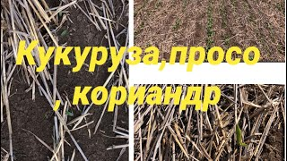 Кукуруза, просо, кориандр, всходы по технологии no-till